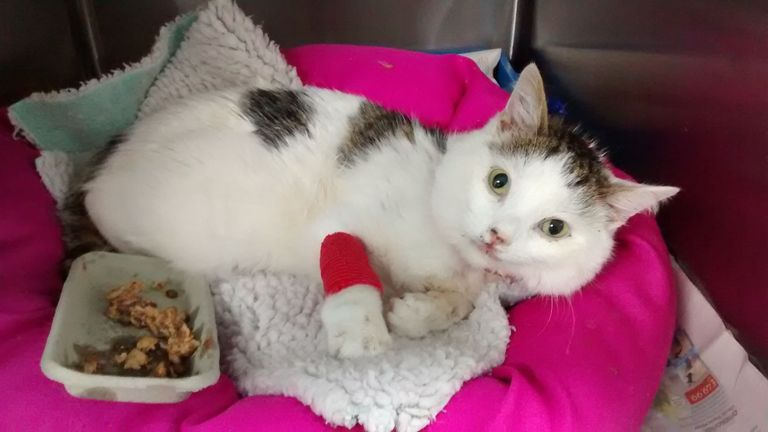 Undated handout photo issued by the RSPCA of a cat that survived a 100ft fall from a block of flats in Birmingham. PRESS ASSOCIATION Photo. Issue date: Tuesday April 17, 2018. The RSPCA is trying to track down the owners after the animal suffered a broken jaw in the incident. See PA story ANIMALS Fall. Photo credit should read: RSPCA/PA Wire NOTE TO EDITORS: This handout photo may only be used in for editorial reporting purposes for the contemporaneous illustration of events, things or the peopl