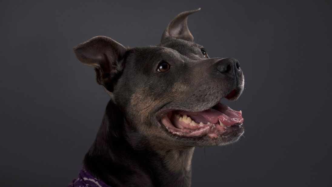 Staffordshire bull terriers are the most commonly stolen breed