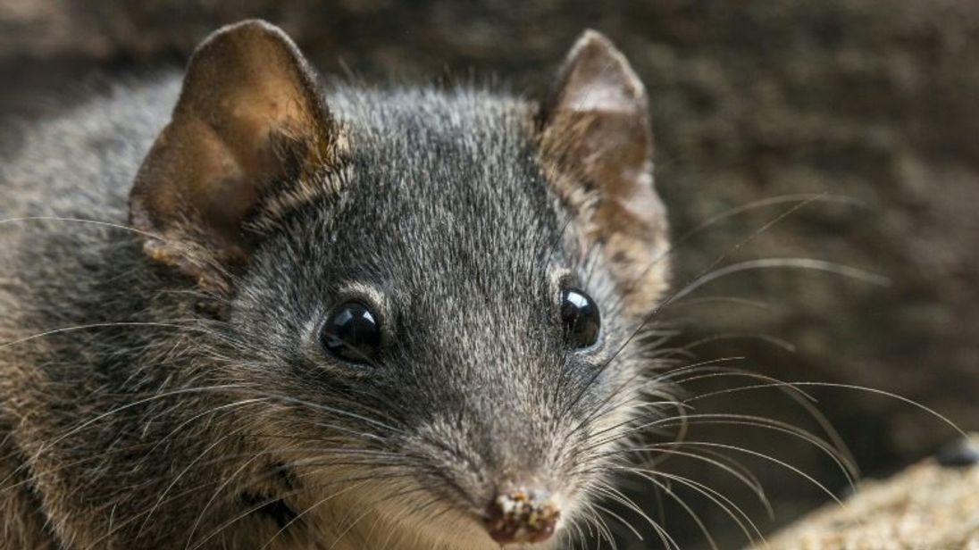 The silver-headed antechinus: frenzied sex sessions are endangering the species