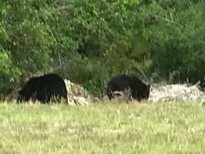 A mother bear and her three cubs visited a local school in Florida
