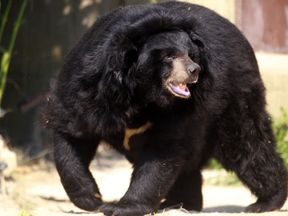 A black bear. File pic