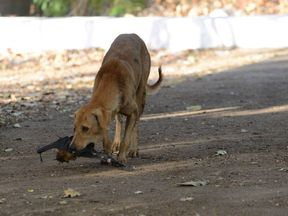 A stray dog picks up a dead bat which fell from the branches of a Banyan tree on the campus of Gujarat College in Ahmedabad on May 28, 2014. Due to the heatwave conditions in Gujarat state, the bats have moved to the lower limbs of the tree with many bats succumbing to the heat and dying. AFP PHOTO / Sam PANTHAKY (Photo credit should read SAM PANTHAKY/AFP/Getty Images)