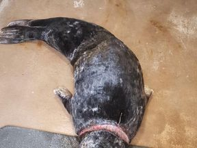 The plastic netting cut right into the seal's neck. Pic: RSPCA