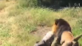 Video in South Africa shows lion mauling man in wildlife area's enclosure
