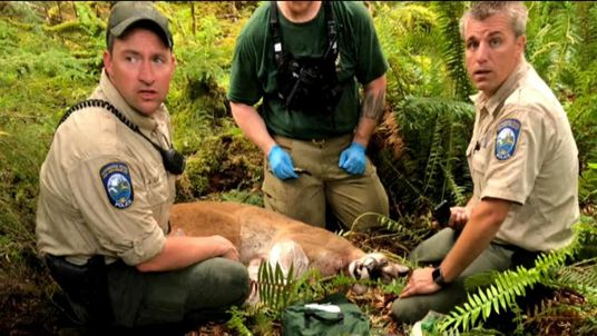 The cougar was shot dead within hours