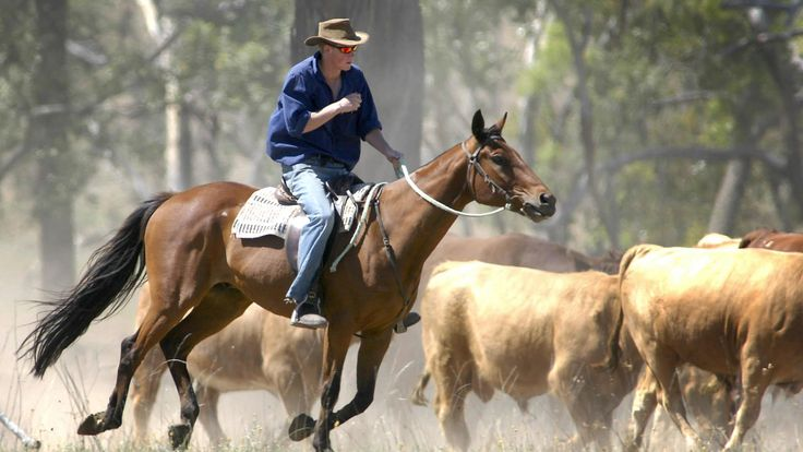 Prince Harry rounds up cattle on his gap year in Australia