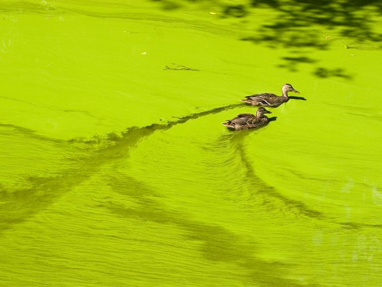 Climate change is forcing an increasing in algal blooms