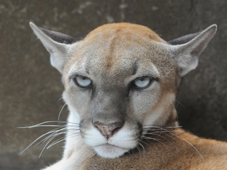 Cougars are native to the western USA. File Pic