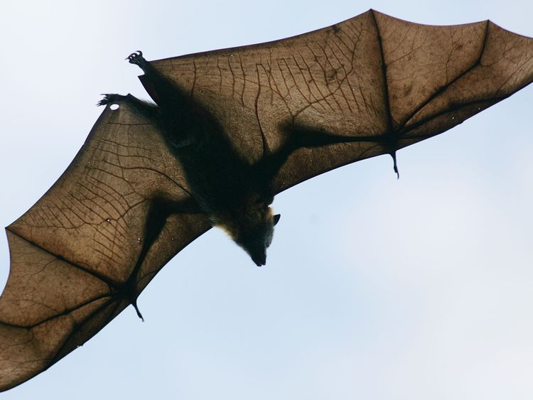 The fruit bat - of flying fox - is the main carrier of the virus.