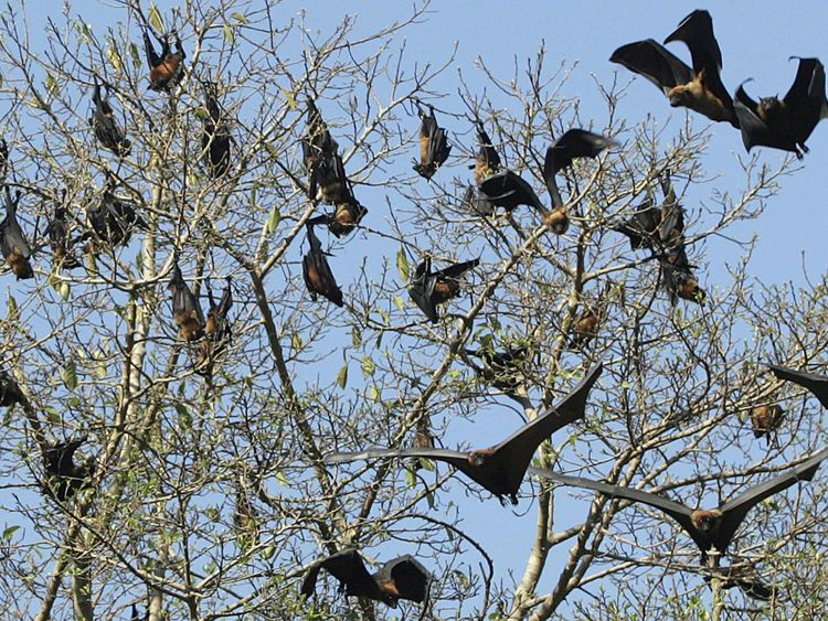 Fruit bats in a tree in Amritsar, India. Pic: file