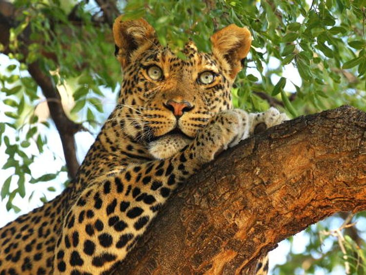 The leopard attacked and killed the boy on Friday night (file pic)