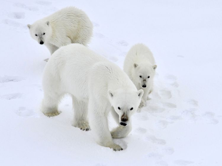 Polar bears could face extinction, researchers say