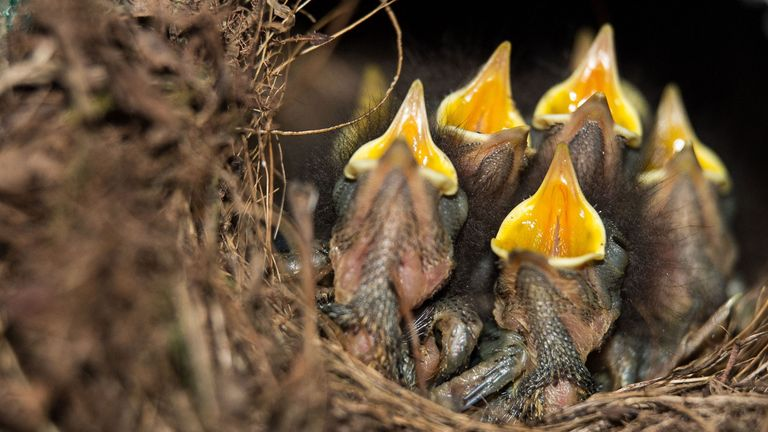 Robin chicks widely open their beaks and beg for food in their nest in Hanover, central Germany, on June 30, 2017. / AFP PHOTO / dpa / Silas Stein / Germany OUT (Photo credit should read SILAS STEIN/AFP/Getty Images)