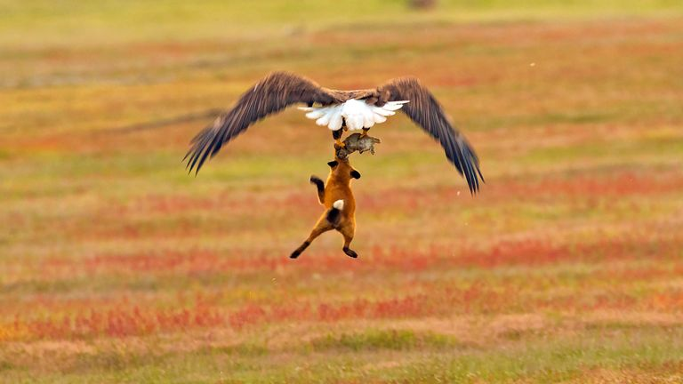 A bald eagle and a red fox tussle in mid-air over a European rabbit in San Juan Island National Historical Park in Washington state