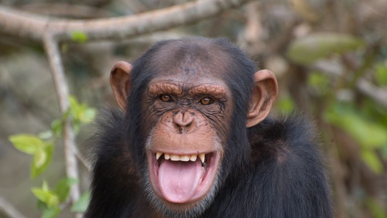 A chimpanzee smiling
