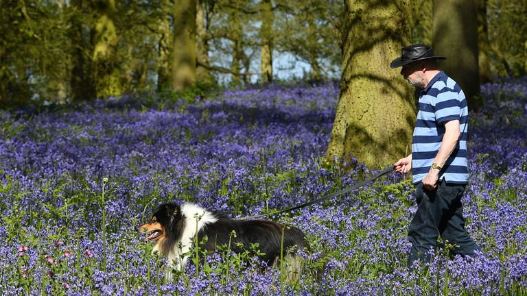 A man walks a dog in the warm weather amongst the bluebells on the Blickling Estate in Norfolk. Sun worshippers are set to sizzle in the spring heatwave, with Bank Holiday Monday forecast to be the hottest since records began. PRESS ASSOCIATION Photo. Picture date: Sunday May 6, 2018. See PA story WEATHER Hot. Photo credit should read: Joe Giddens/PA Wire