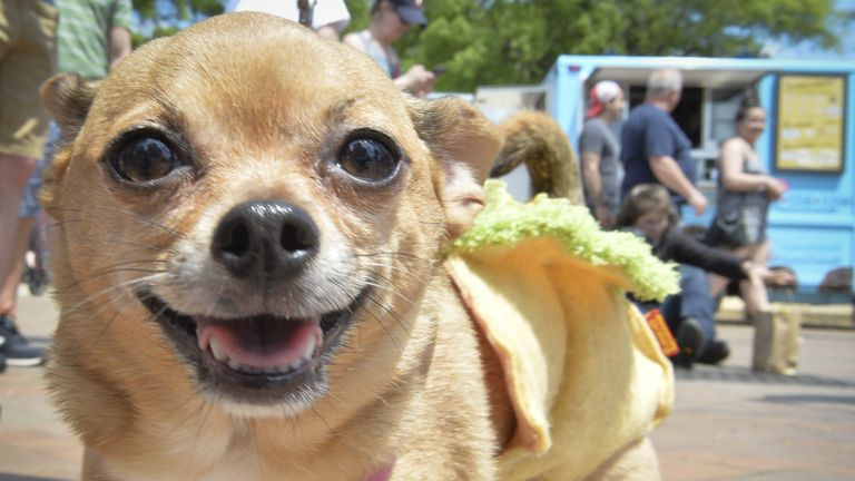 Thefts of Chihuahuas are on the rise