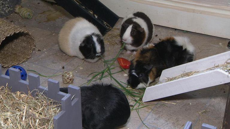 Karen Anvil has eight guinea pigs
