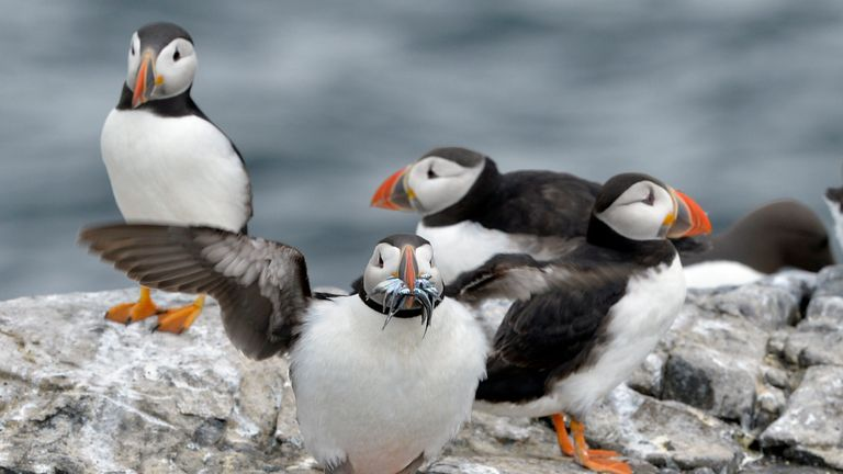The National Trust has warned as it takes its latest census of the seabirds, that numbers of puffins on the UK's remote Farne Islands may be down 12%