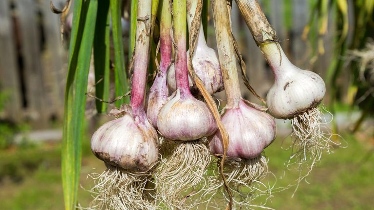 Cheap garlic is being smuggled in from neighbouring countries