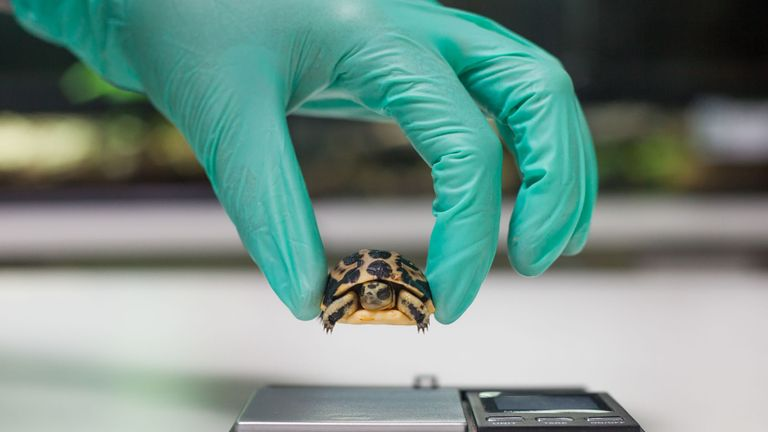 Undated Paignton Zoo handout photo of a baby spider tortoise being weighed at Paignton Zoo, which has become the first in Britain to breed one of the world's smallest and rarest tortoises. PRESS ASSOCIATION Photo. Issue date: Tuesday May 1, 2018. The spider tortoise, known as Pyxis arachnoides, is found around the south western coast of Madagascar. See PA story ANIMALS Tortoise. Photo credit should read: Paignton Zoo/PA Wire NOTE TO EDITORS: This handout photo may only be used in for editorial r
