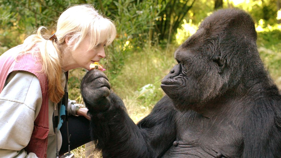 Koko, the California gorilla who mastered sign language, has died aged 46