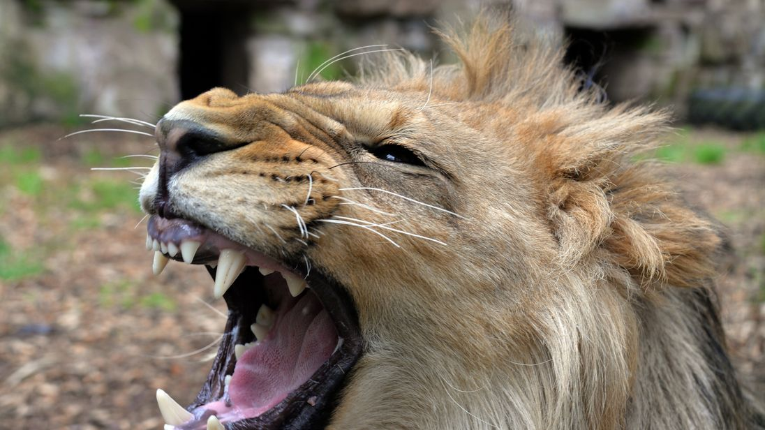 Lions, Tigers, Jaguar Recaptured Hours After Escaping From Zoo