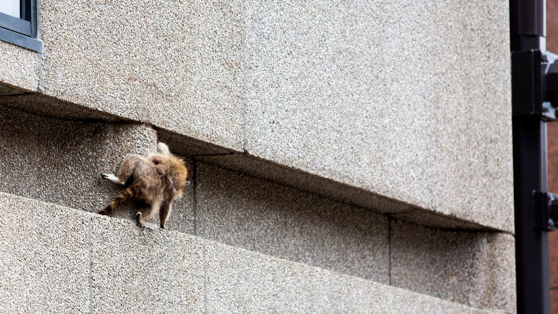 A raccoon scrambles along a ledge on the side of the Town Square building