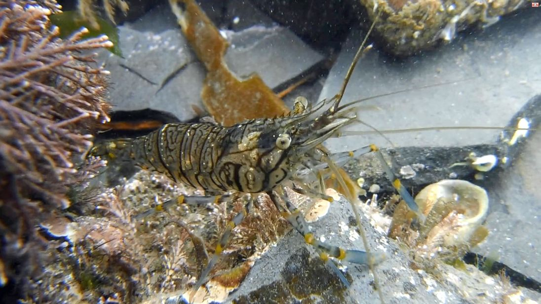 A prawn goes under a personality test for a scientific study