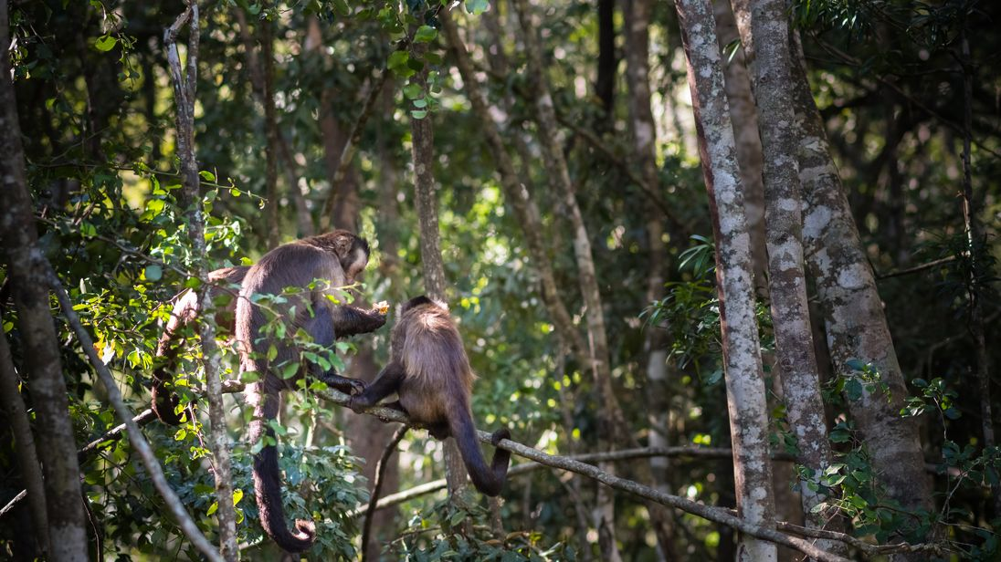 A spider monkey died after escaping. File pic