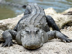 An American Alligator rests on a rock at the alligator lagoon at Everglades Alligator Farm in Homestead, Florida, on June 24, 2016