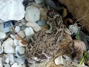 The rattlesnake's severed head bit the victim