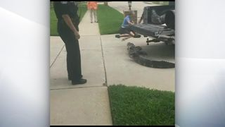 The man was knocked out cold and the alligator fell to the floor