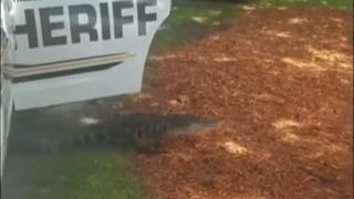 An alligator hitched a ride home in a police car after straying from a lake in Brandon, Florida,