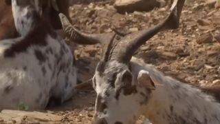 Goats are working for the government in Portugal to prevent the spread of wildfire