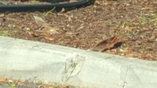 A Florida resident said she was surprised to see two iguanas facing off outside a Boca Raton Starbucks on Saturday, June 23.