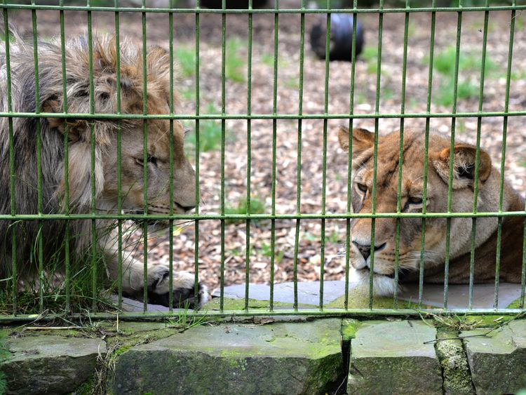 Two of Eifel Zoo's lions pictured in June 2016