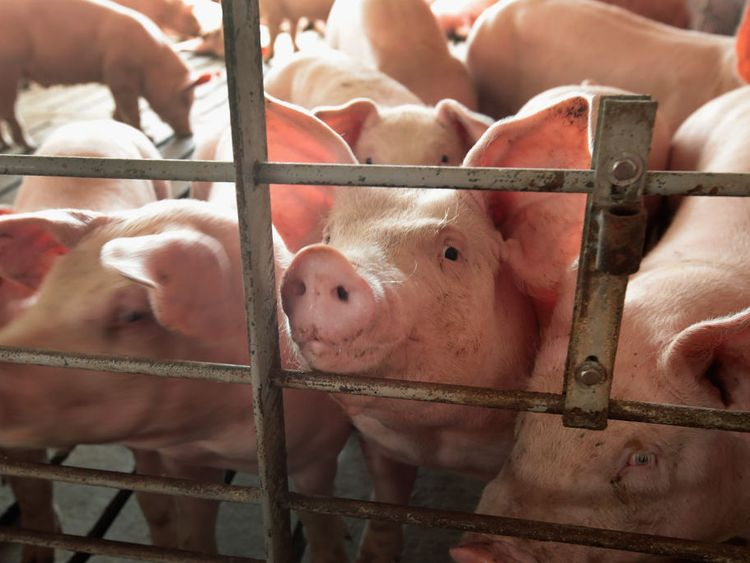 Pig farms and abbatoirs use CO2 to stun the animals before they are slaughtered