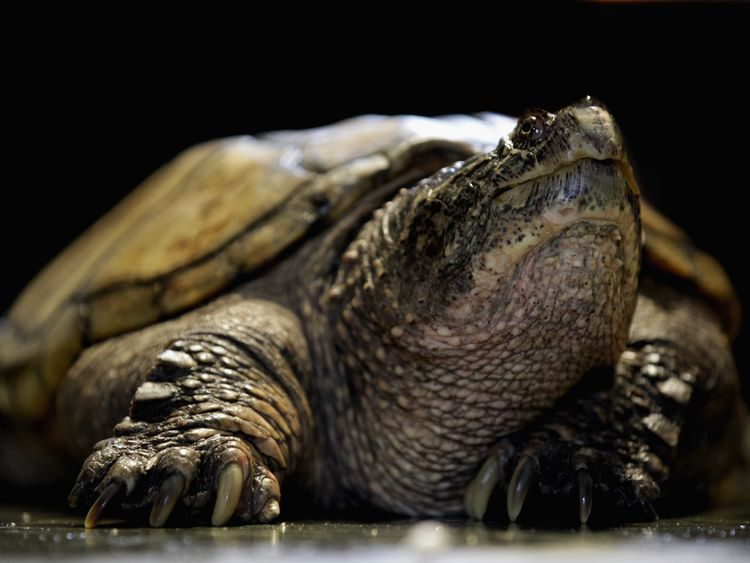 Snapping turtles have powerful beak-like jaws