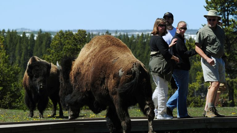 Woman gored by bison at Yellowstone Park | US News | Sky News