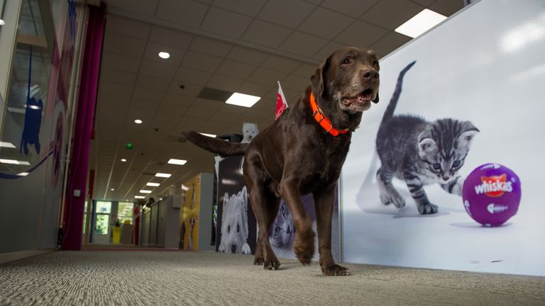 A picture taken on May 27, 2015 shows a dog walking through an open space offices at the Mars Petcare and Foods company headquarters in Saint-Denis-de-l'Hotel. The Mars Petcare and Foods company produces pet food and distributes brands such as Whiskas, Sheba, Pedigree, Kitekat, Royal Canin.
