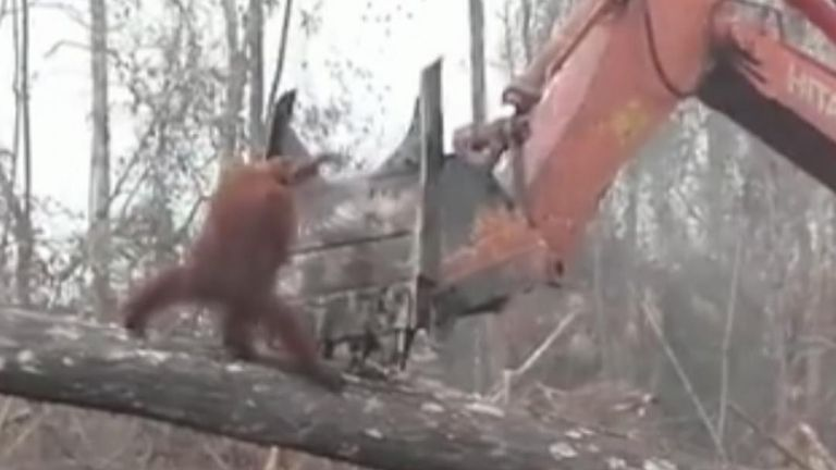 A video shared by International Animal Rescue (IAR) on World Environment Day, June 5, showed the harrowing reality of deforestation in Indonesia, as an orangutan was seen confronting a bulldozer that was destroying its habitat.