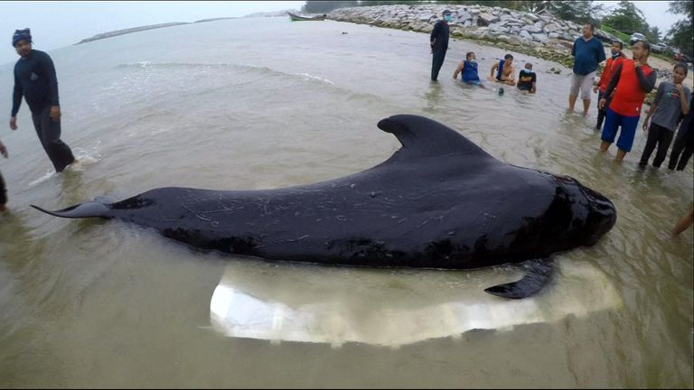 The small pilot whale was found near Thailand's border with Malaysia