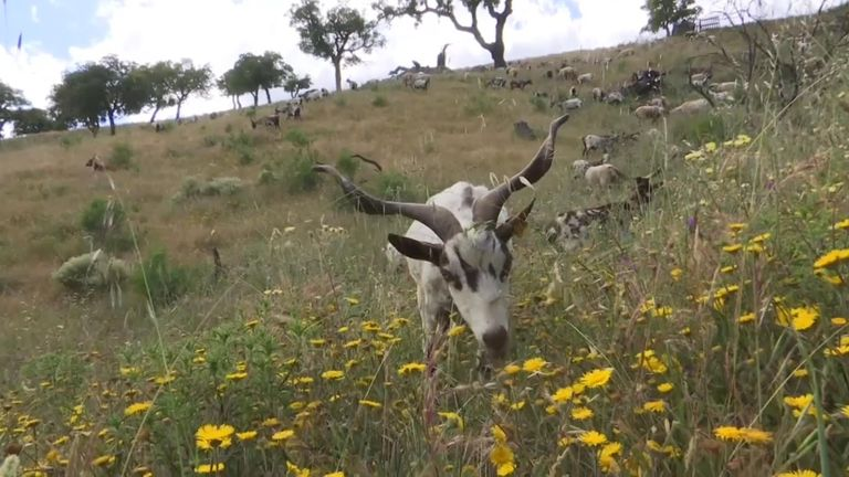 A herd of goats tucks in to vegetation ahead of Portugal's wildfire season