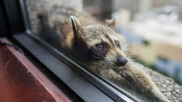A raccoon strecthes out on a windowsill high above downtown St. Paul, Minn. on Tuesday, June 12, 2018. Evan Frost | MPR News Evan Frost | MPR News