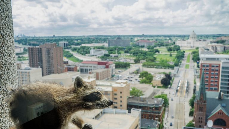 A raccoon scratches itself on the window sill of the Paige Donnelly Law Firm on the 23rd floor of the UBS Plaza in St. Paul