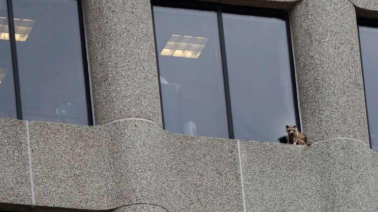 A raccoon ended up in a most precarious place near the top of the UBS building