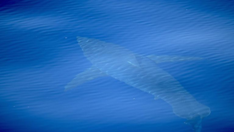 A great white shark spotted off the coast of Majorca by conservation group Alnitak Mission. Pic: Alnitak