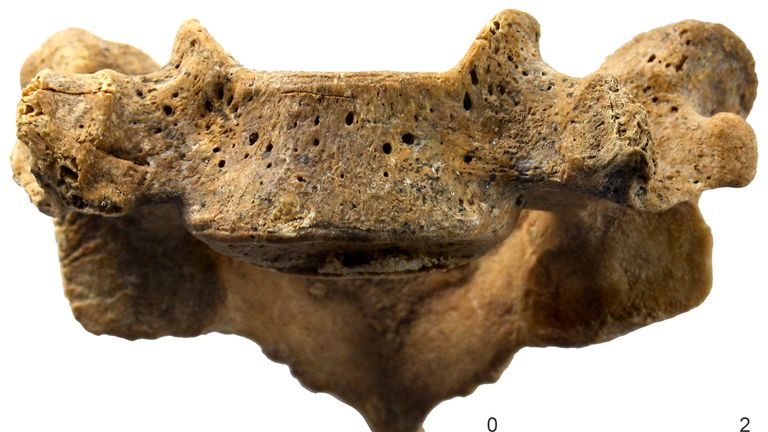 One of the vertebrae recovered from the skeleton