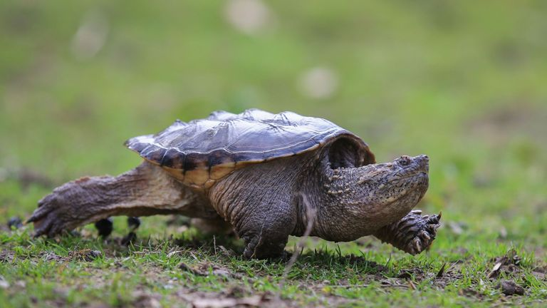 Snapping turtles are considered an invasive species in Idaho